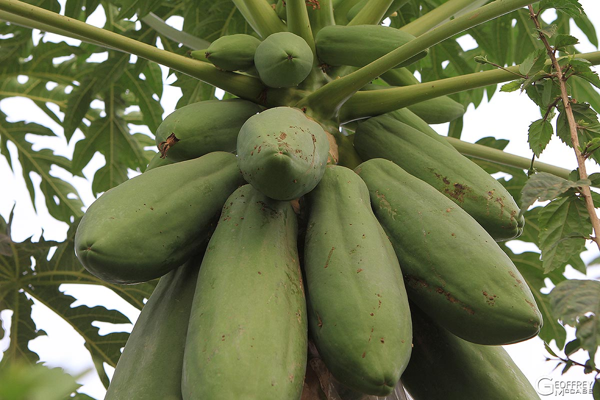 how to grow papaya in sydney